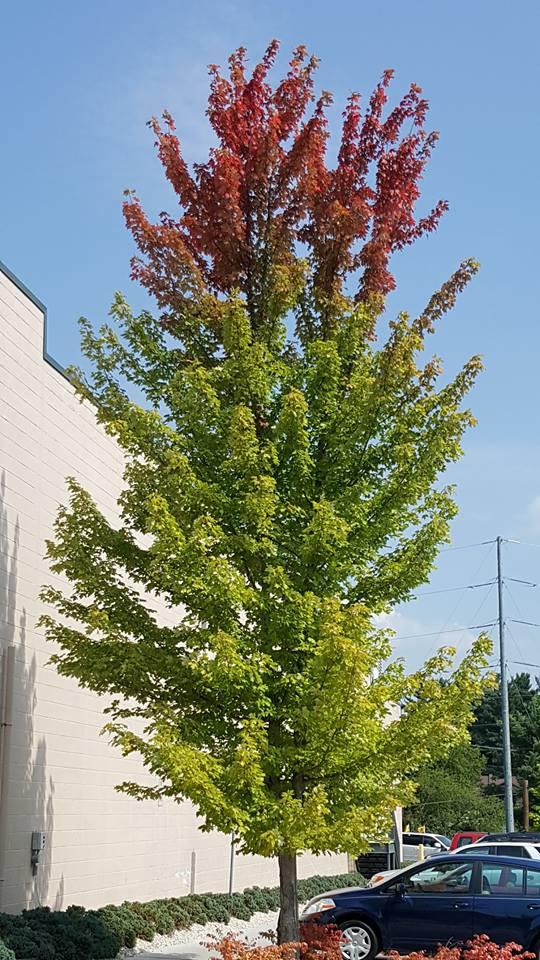 Red Maple at Harris Teeter shopping center. Sept 11.