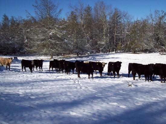 Jan19_cows2_Sherry Greene
