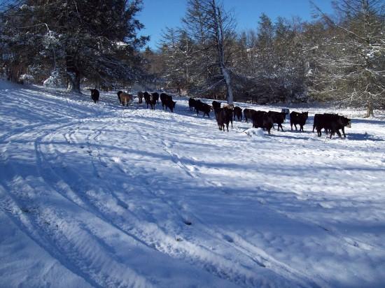 Jan19_cows3_Sherry Greene