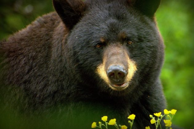 Grandfather Mountain Mourns Loss Of Dakota The Black Bear