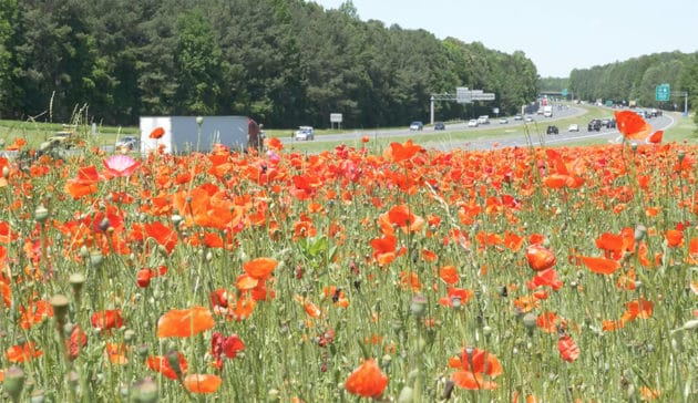 Poppies Bloom Along NC Highways in Tribute to Fallen World War I Soldiers