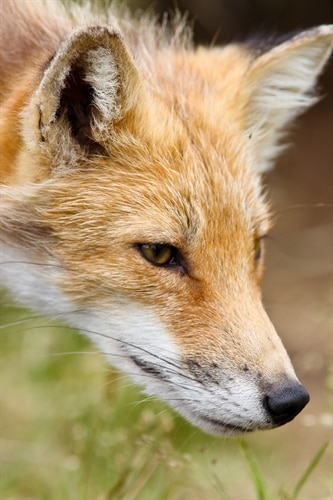 Potential for Fox Encounters Increase in Summer Months