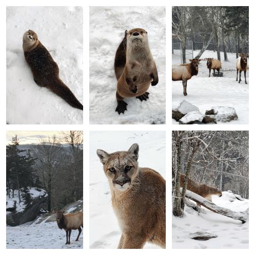 Groundhog shmoundhog, Grandfather Mountain animals say bring on more winter