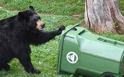 Living Responsibly with Black Bears in North Carolina