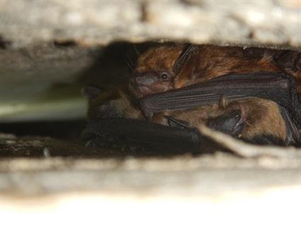 Prepare for Bat Roosting Season Now