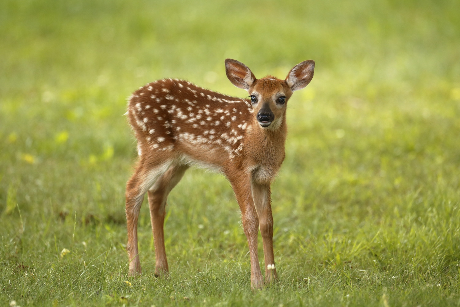 Leave the Fawn Alone; It's Likely Not Abandoned