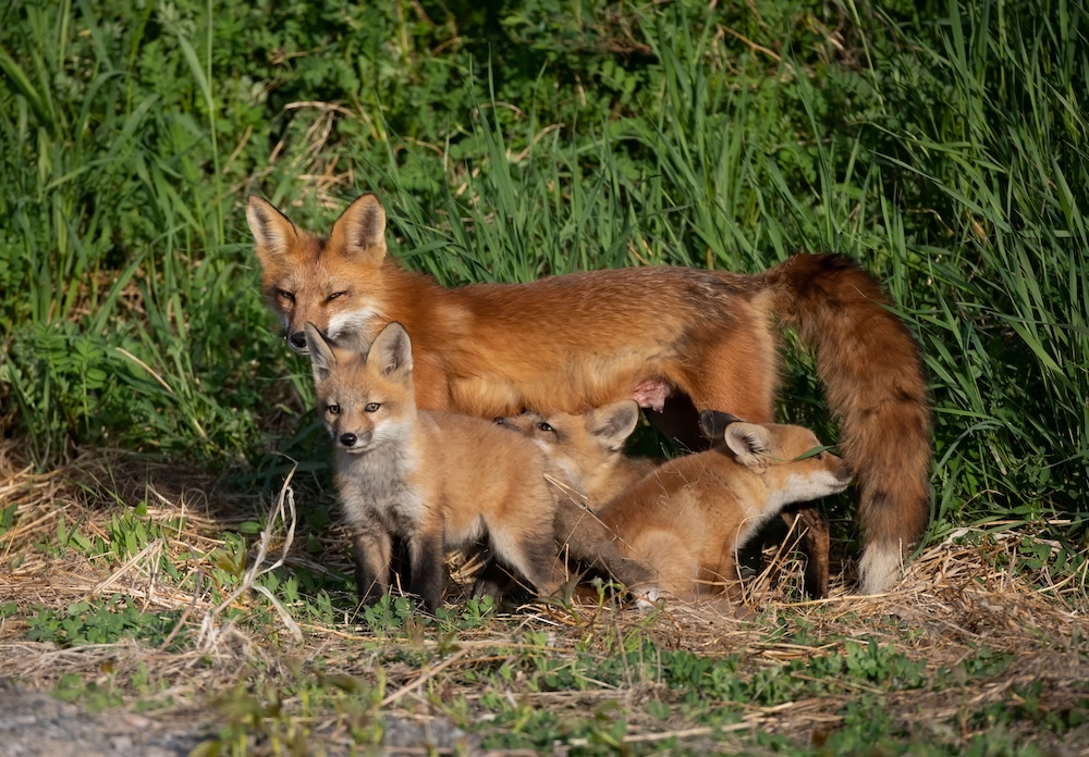 Fox Den on Your Property? Wildlife Officials Offer Solutions