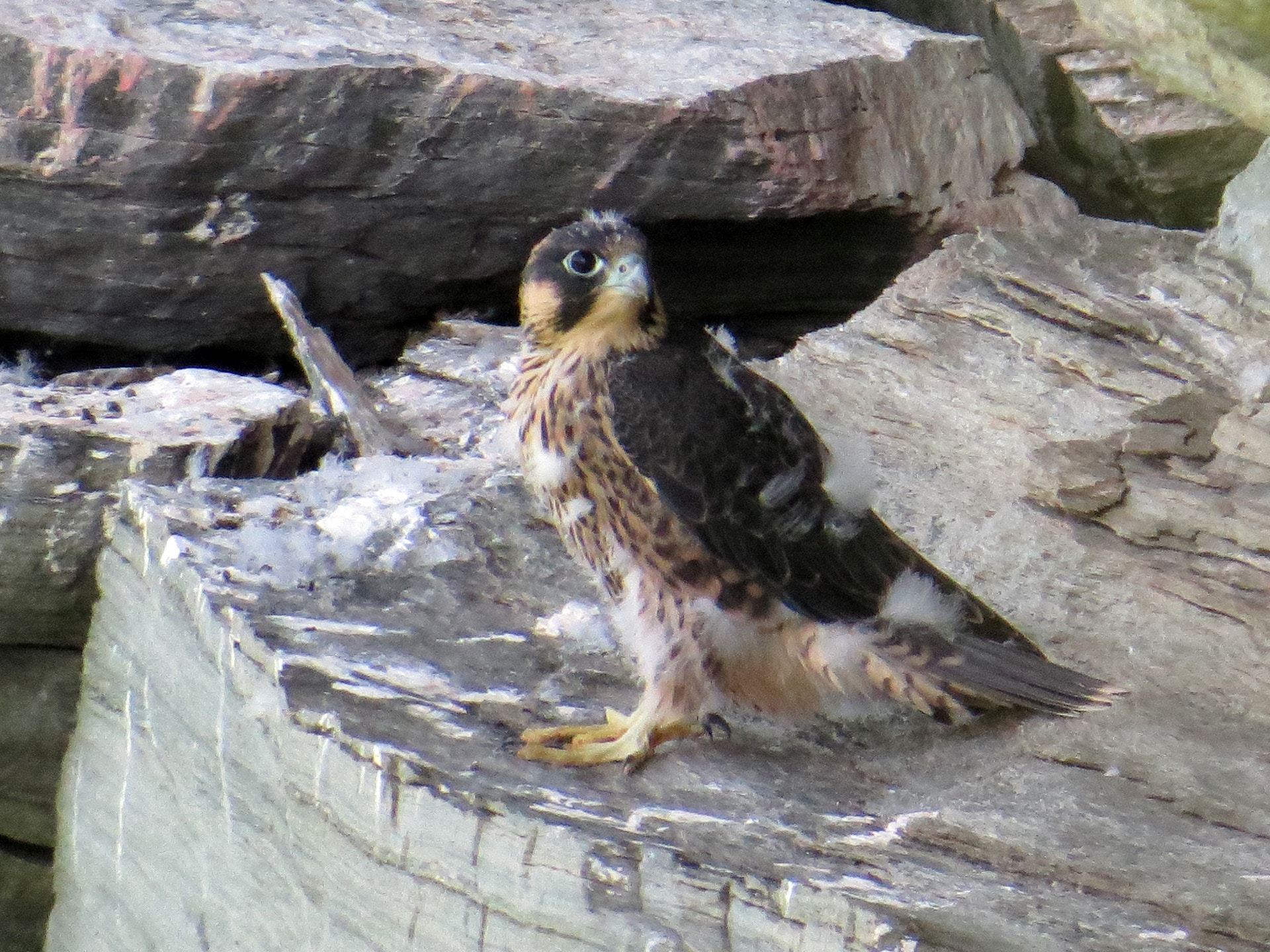 The Nest Best Thing: Grandfather Mountain celebrates peregrine falcon nesting